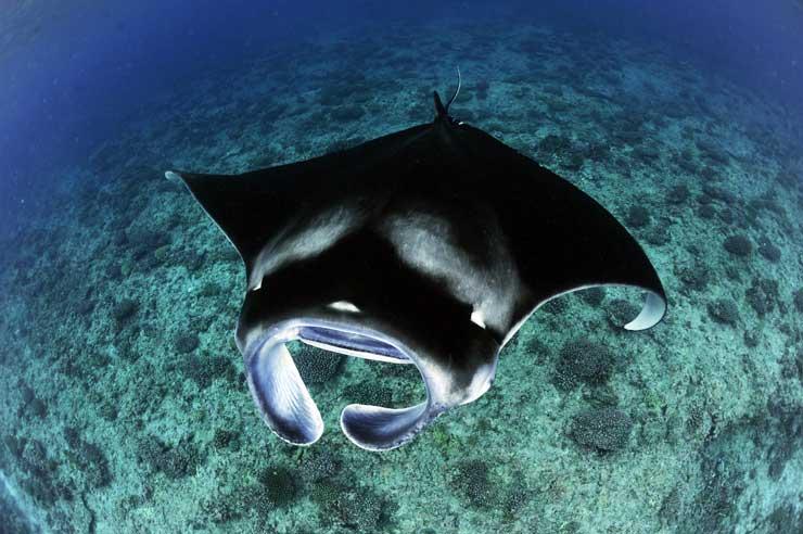 Reef_Manta_Ray_Manta_alfredi_Feeding_Over_Reef_D_Arros_Island_Amirantes_Seychelles_-_Guy_Stevens_Manta_Trust_2016